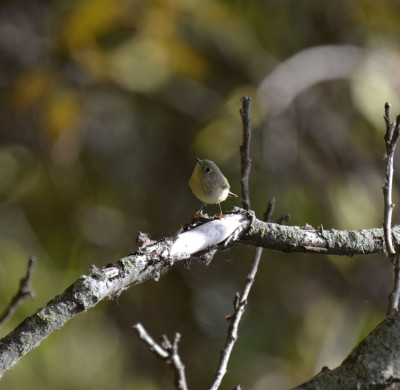 Photo of Ruby Crowned Kinglet on Branch on NaturalCrooksDotCom