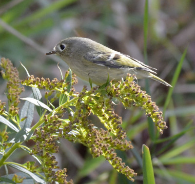 Photo of Ruby Crowned Kinglet peace atop Goldenrod on NaturalCrooksDotCom
