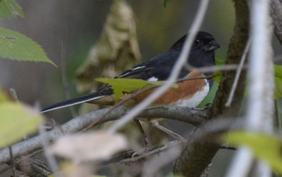 Photo of Rufous Sided Towhee Male On NaturalCrooksDotCom