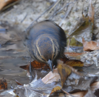 Photo of Rusty Blackbird Leaves in Stream on NaturalCrooksDotCom