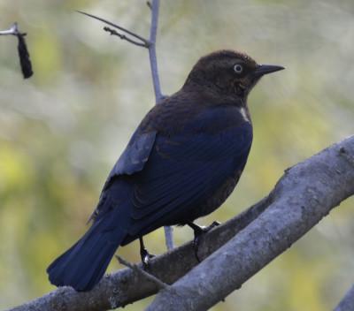 Photo of Rusty Blackbird Perched on NaturalCrooksDotCom
