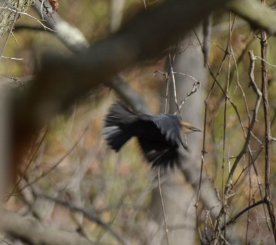 Photo of Rusty Blackbird in Flight on NaturalCrooksDotCom