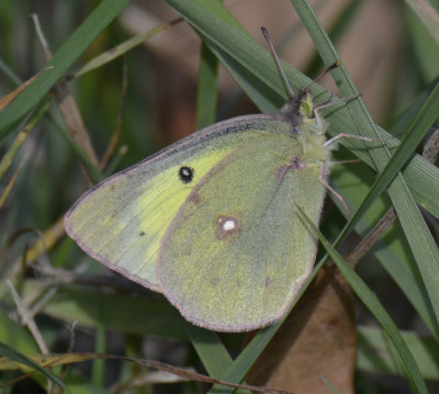 Photo of Sulphur Butterfly Ruthven Oct 22 on NaturalCrooksDotCom