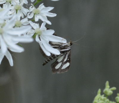 Photo of White Spotted Sable Moth On Cow Parsnip On NaturalCrooksDotCom