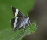 Photo of White Striped Black Moth Blue Eye Flash on NaturalCrooksDotCom