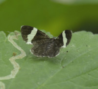 Photo of White Striped Black Moth Snail Trail on NaturalCrooksDotCom
