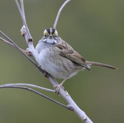 Photo of White Throated Sparrow Head On on NaturalCrooksDotCom