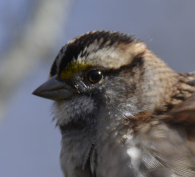 Photo of White throated Sparrow Close up Ruthven on NaturalCrooksDotCom