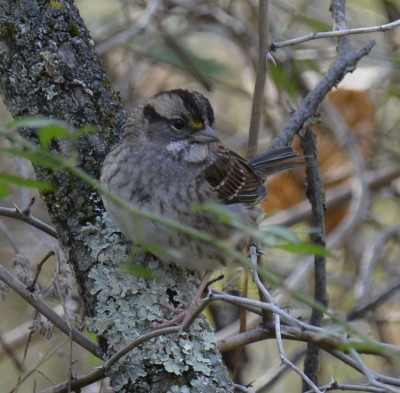 Photo of White throated Sparrow Ruthven on NaturalCrooksDotCom