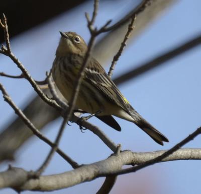 Photo of Yellow Rumped Warbler Ruthven on NaturalCrooksDotCom