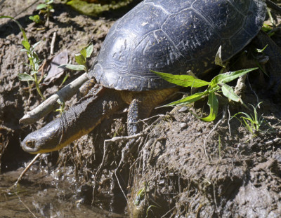 Photo of Blandings Turtle Getting Wet A on NaturalCrooksDotCom