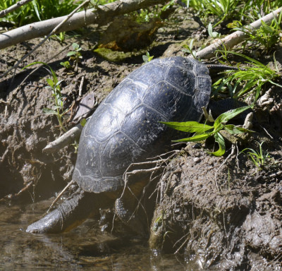 Photo of Blandings Turtle Getting Wet B on NaturalCrooksDotCom