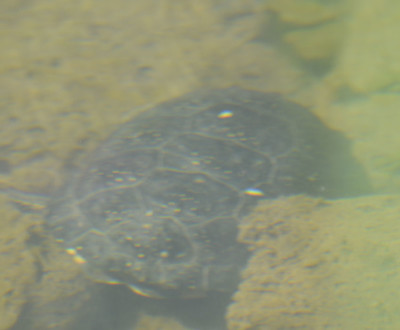 Photo of Blandings Turtle Obscure Underwater on NaturalCrooksDotCom