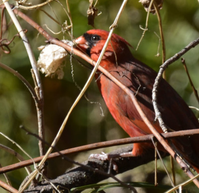 Photo of Cardinal with Wild Cucumber Seed Pod on NaturalCrooksDotCom