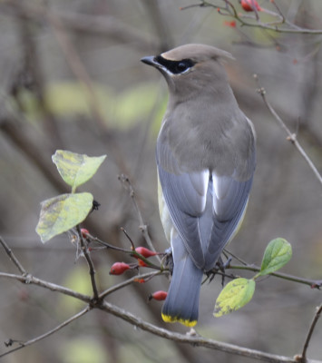 Photo of Cedar Waxwing Blue Back On NaturalCrooksDotCom