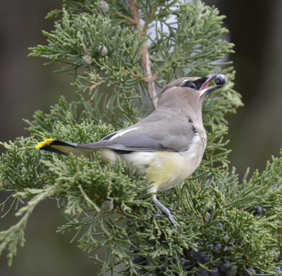Photo of Cedar Waxwing Juniper Berry Brown Eye on NaturalCrooksDotCom