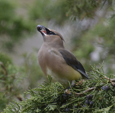 Photo of Cedar Waxwing Juniper Berry Left on NaturalCrooksDotCom
