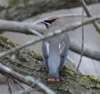 Photo of Cedar Waxwing Red Tail Tips B On NaturalCrooksDotCom