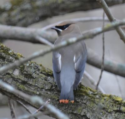 Photo of Cedar Waxwing Red Tail Tips B On NaturalCrooksDotCom