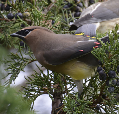 Photo of Cedar Waxwing Red Wax Tips on NaturalCrooksDotCom