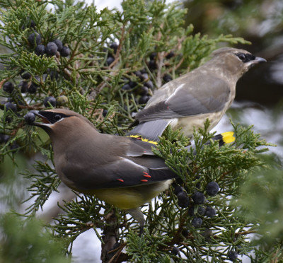 Photo of Cedar Waxwings Different Ages on NaturalCrooksDotCom