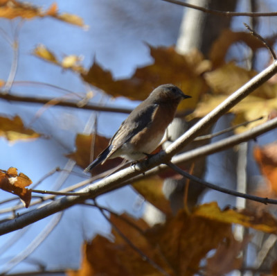 Photo of Eastern Bluebird Riverwood Leaves on NaturalCrooksDotCom