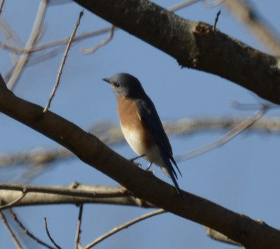 Photo of Eastern Bluebird Riverwood on NaturalCrooksDotCom