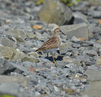 Photo of Least Sandpiper Juvenile Dry Rocks On NaturalCrooksDotCom