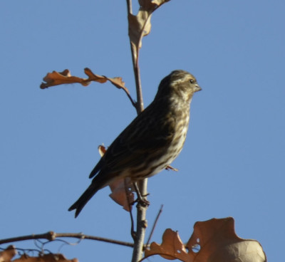 Photo of Purple Finch Female Top Tree on NaturalCrooksDotCom