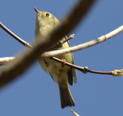 Photo of Ruby Crowned Kinglet Way Up On NaturalCrooksDotCom