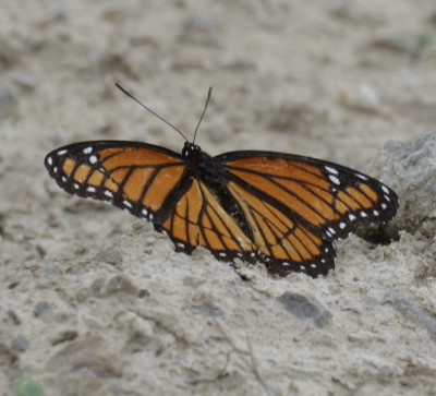 Photo of Viceroy Closest on NaturalCrooksDotCom