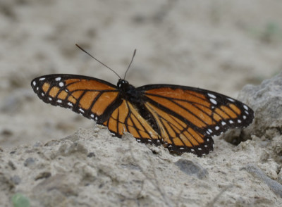Photo of Viceroy on Sand on NaturalCrooksDotCom
