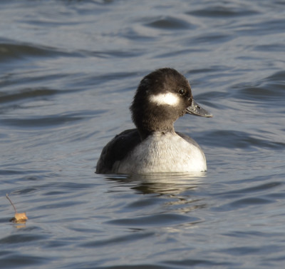 Photo of Bufflehead Female Near Swan on NaturalCrooksDotCom