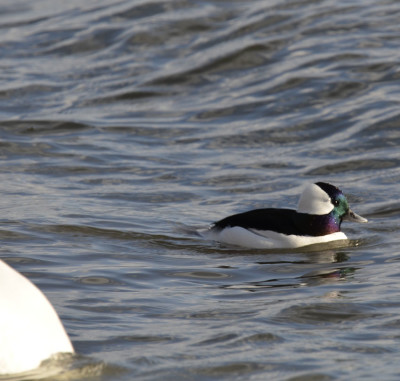 Photo of Bufflehead Male Trumpeter on NaturalCrooksDotCom
