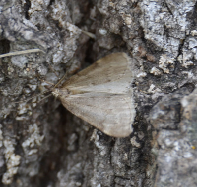 Photo of Moth Dec 5 On Tree Trunk on NaturalCrooksDotCom