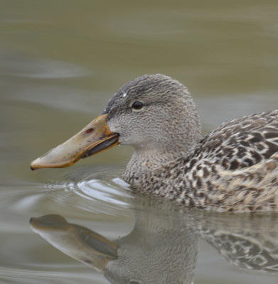 Photo of Northern Shoveler Female Head On NaturalCrooksDotCom