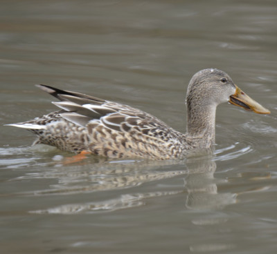 Photo of Northern Shoveler Female Less on NaturalCrooksDotCom