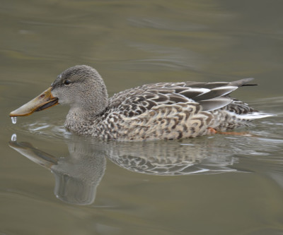 Photo of Northern Shoveler Female On NaturalCrooksDotCom