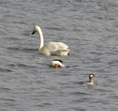 Photo of Trumpeter Swan Bufflehead Pair on NaturalCrooksDotCom