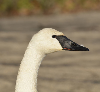 Photo of Trumpeter Swan LaSalle on NaturalCrooksDotCom