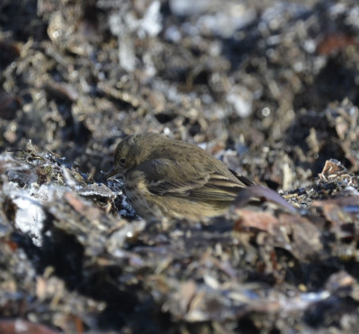 Photo of American Pipit Camo on Wrack On NaturalCrooksDotCom