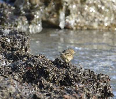 Photo of American Pipit Icy Lake Wrack on NaturalCrooksDotCom