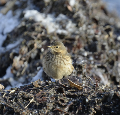Photo of American Pipit King of Heap On NaturalCrooksDotCom