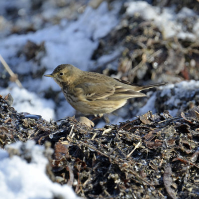 Photo of American Pipit Left Side On NaturalCrooksDotCom