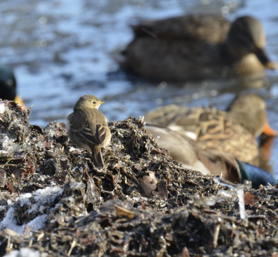 Photo of American Pipit Mallards on NaturalCrooksDotCom