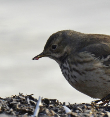 Photo of American Pipit Red Possibly Worm in Bill On NaturalCrooksDotCom