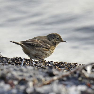 Photo of American Pipit Right Side on NaturalCrooksDotCom