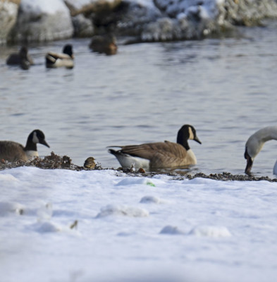 Photo of American Pipit Tiny Beside Canada Geese Mute Swan Mallards on NaturalCrooksDotCom