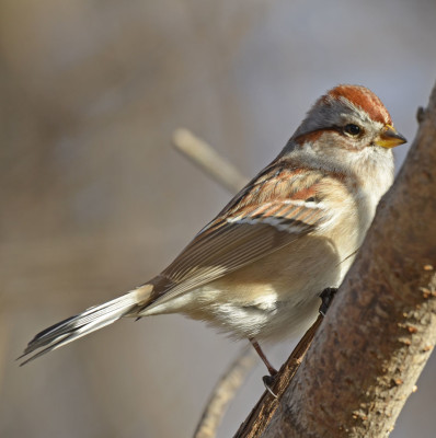 Photo of American Tree Sparrow Watching Me On NaturalCrooksDotCom