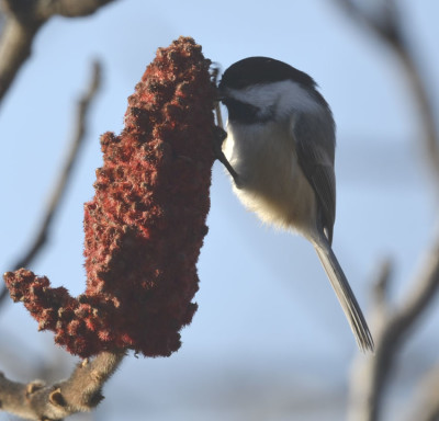 Photo of Black Capped Chickadee on Staghorn Sumac Head on NaturalCrooksDotCom